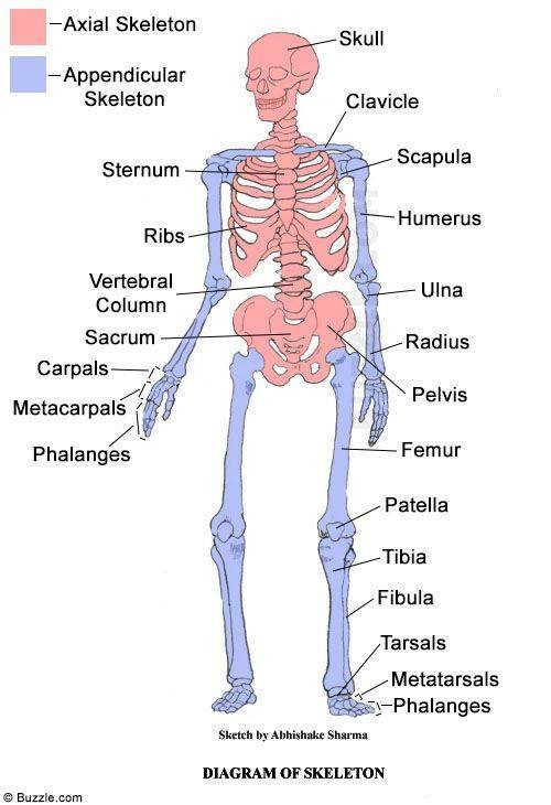 physiology page - the journey though the skeletal system, Skeleton